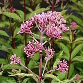 Wasserdost rosarot - Eupatorium fistulosum - Vorschau