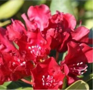 Rhododendron Carmen 25-30cm - Rhododendron repens - Zwerg Alpenrose - Vorschau