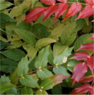 Schmuck Mahonie Hivernant 40-60cm - Mahonia japonica - Vorschau