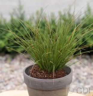Neuseeland Segge - großer Topf - Carex testacea - Vorschau