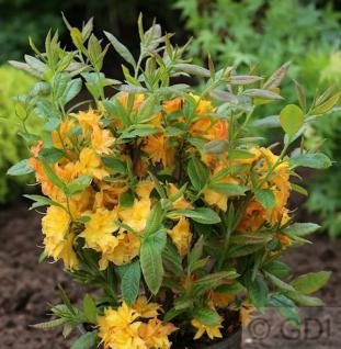 Azalee Sun Star 30-40cm - Rhododendron luteum - Alpenrose - Vorschau