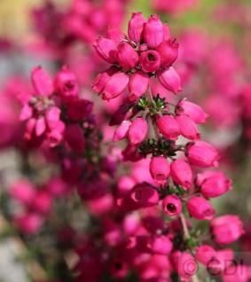 10x Grauheide Rote Rosita - Erica cinerea - Vorschau