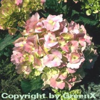 Bauernhortensie Schöne Bautznerin 40-60cm - Hydrangea macrophylla - Vorschau