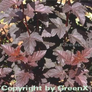 Rotblättrige Blasenspiere 80-100cm - Physocarpus opulifolius - Vorschau