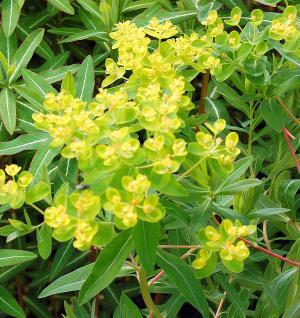 Sumpf-Wolfsmilch Walenburg´s Glorie - Euphorbia palustris - Vorschau