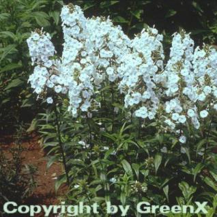 Wiesen Flammenblume Omega - Phlox Maculata - Vorschau
