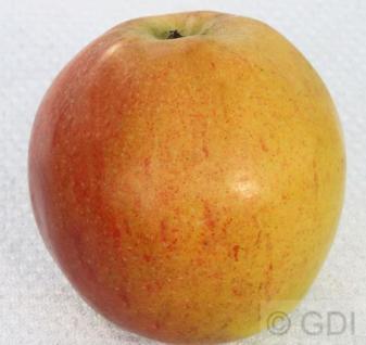Apfelbaum Pommerscher Krummstiel 60-80cm - fest und süßsauer - Vorschau