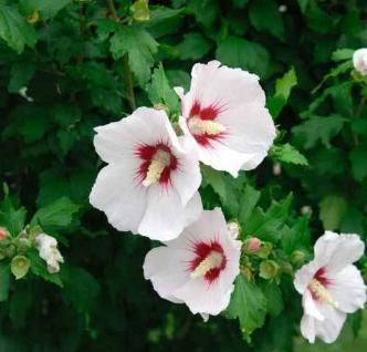 Hochstamm Garteneibisch Helen 60-80cm - Hibiscus - Vorschau