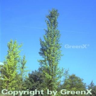 Fächerblattbaum Fastigiata 80-100cm - Ginkgo biloba - Vorschau