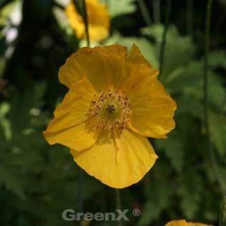 Wald Scheinmohn Aurantiaca - Meconopsis cambrica - Vorschau