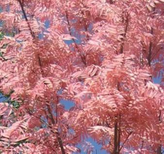 Chinesischer Surenbaum Flamingo 100-125cm - Toona sinensis - Vorschau
