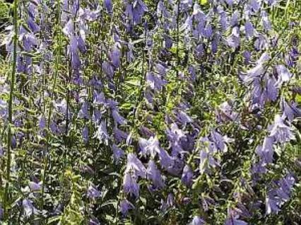 Schellenblume - Adenophora liliifolia - Vorschau