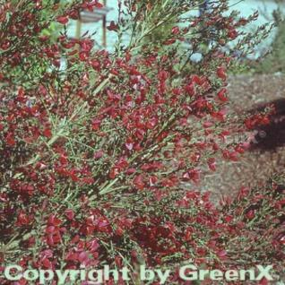 Edelginster Golden Red Wings 60-80cm - Cytisus scoparius - Vorschau