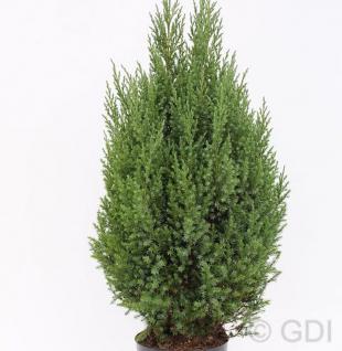 Blauer Kegelmooswacholder 60-80cm - Juniperus chinensis - Vorschau