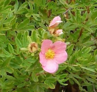 10x Kleiner Spierstrauch Pink - Potentilla fruticosa - Vorschau