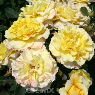 Hochstamm Rose Sunny Sky® 60-80cm - Vorschau