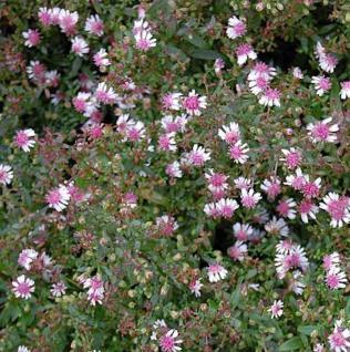 Waagerechte Herbst Aster - Aster lateriflorus - Vorschau