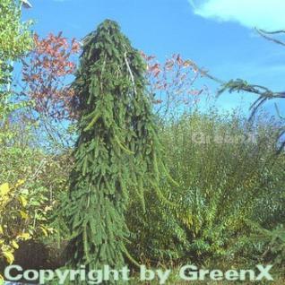 Trauer Hängefichte 80-100cm - Picea abies Inversa - Vorschau