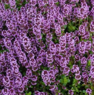 Echter Thymian Tabor - Thymus vulgaris - Vorschau