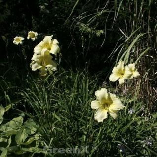 Taglilie Snowy Apparition - Hemerocallis - Vorschau