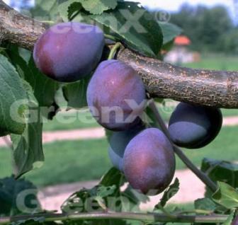 Pflaume Unika 60-80cm - Prunus domestica - Vorschau