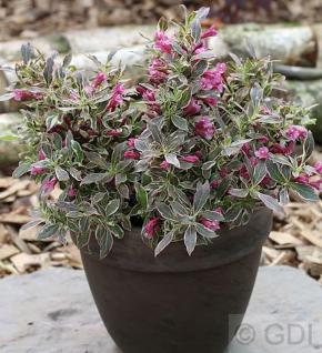 Zwerg Weigelie Monet® 30-40cm - Weigela florida - Vorschau