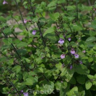 Aufsteigende Garten Bergminze Gottfried Kühn - Calamintha menthifolia - Vorschau