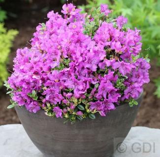 Duftkissen Zwerg Rhododendron 15-20cm - Rhododendron radicans - Vorschau