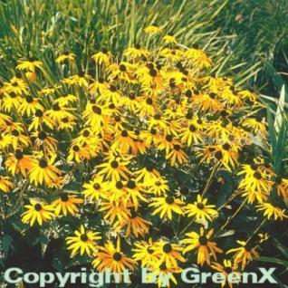 Sonnenhut Goldsturm - großer Topf - Rudbeckia fulgida - Vorschau