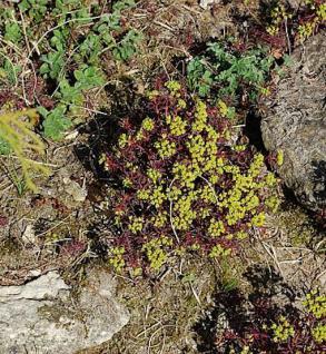 Zypressen Wolfsmilch Fens Ruby - Euphorbia characias - Vorschau