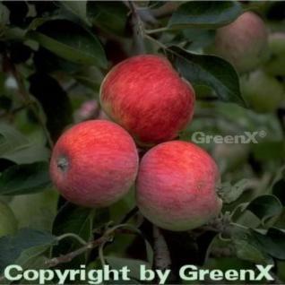 Apfelbaum Piros 60-80cm - ein Frühapfel - Vorschau