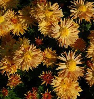 Winteraster Herbstreigen - Chrysanthemum hortorum - Vorschau