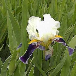Schwertlilie Wabash - Iris barbata - Vorschau