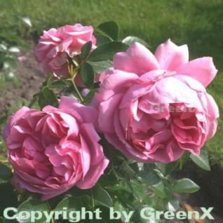Hochstamm Rose Rosenfee® 60-80cm - Vorschau