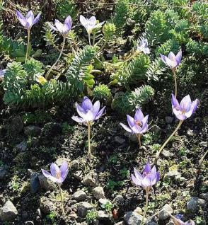 Safran Krokus - Crocus sativus - Vorschau