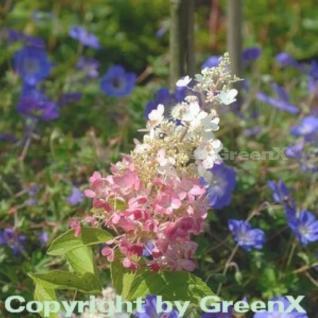 Hochstamm Rispenhortensie Pinky Winky® 80-100cm - Hydrangea paniculata - Vorschau