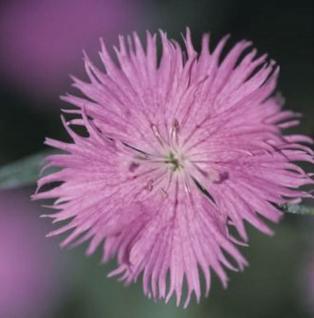 Federnelke Altrosa - Dianthus plumarius - Vorschau