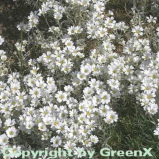 Hornkraut - Cerastium tomentosum - Vorschau