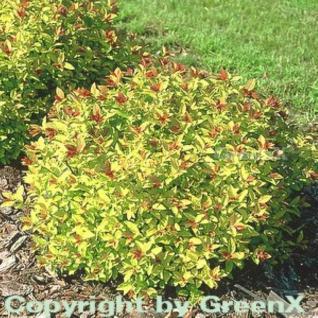 10x Schneespierstrauch Golden Princess 15-20cm - Spiraea japonica - Vorschau