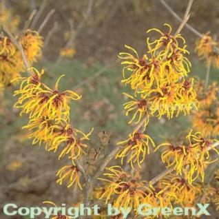 Zaubernuß Orange Beauty 60-80cm - Hamamelis intermedia - Vorschau