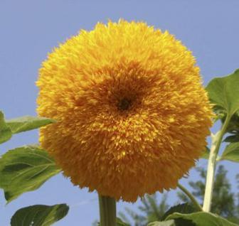 Gefüllte Sonnenblume - Helianthus decpetalus - Vorschau
