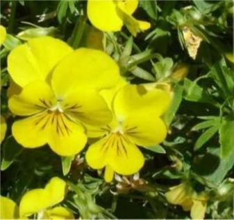 Duftveilchen Sulphurea - Viola odorata - Vorschau
