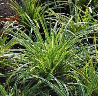 Immergrüne Japan Segge - großer Topf - Carex morrowii - Vorschau
