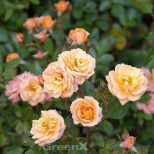 Hochstamm Rose Peach Clementine® 40-60cm - Vorschau
