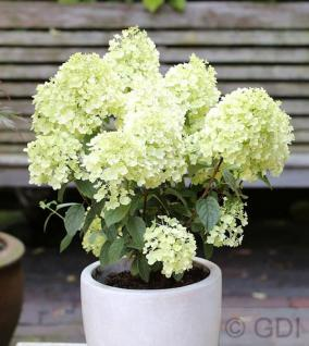 Rispenhortensie Bobo® 40-60cm - Hydrangea paniculata - Vorschau