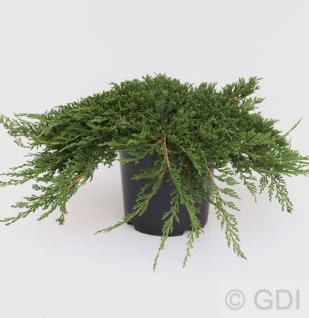 Teppich Wacholder Prince of Wales 20-25cm - Juniperus horizontalis - Vorschau