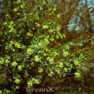 Gold Johannisbeere 40-60cm - Ribes aureum - Vorschau