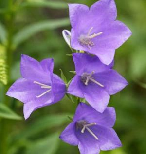 Pfirsichblütige Glockenblume Coerulea - Campanula perscifolia - Vorschau