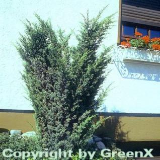 Strauchwacholder Blaauw 20-25cm - Juniperus chinensis - Vorschau