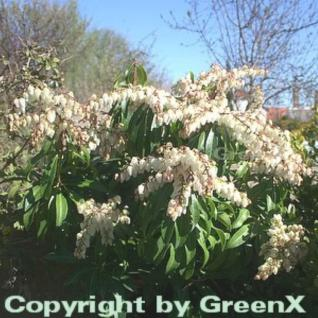 Schattenglöckchen Lavendelheide Red Mill 40-60cm - Pieris japonica - Vorschau